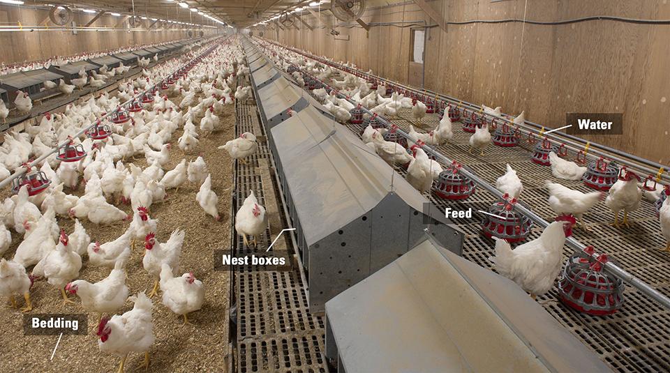 бройлерная ферма
