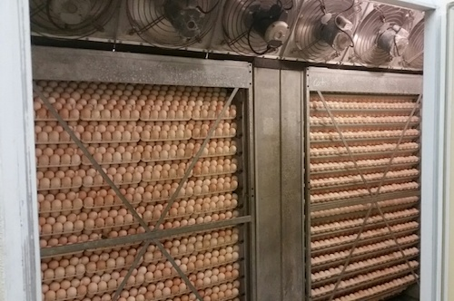 яйца бройлеров