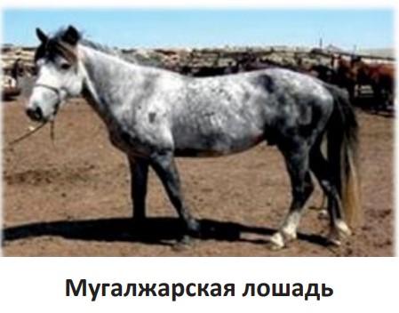 Мугалжарская лошадь