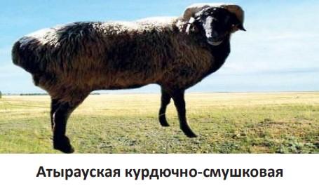 Атырауская курдючно-смушковая