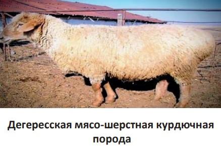 Дегересская мясо-шерстная курдючная порода