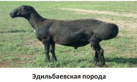 Эдильбаевская порода