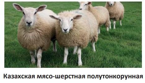 Казахская мясошерстная полутонкорунная