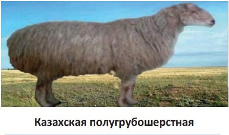 Казахская полугрубошерстная