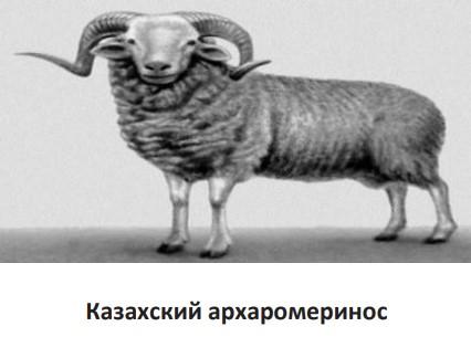 Казахский архаромеринос