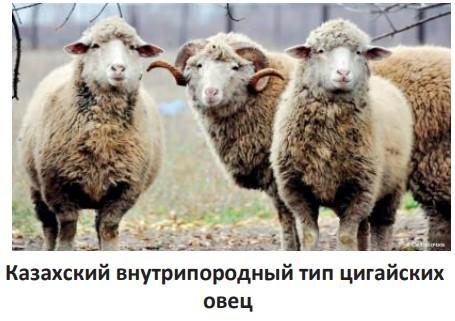 Казахский внутрипородный тип цигайских овец