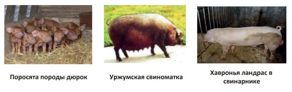 Мясное направление свиней