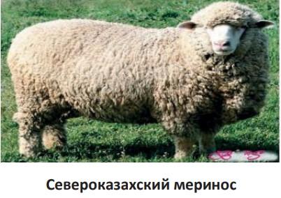 Североказахский меринос