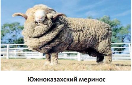 Южноказахский меринос