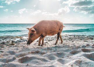 свинья на берегу моря